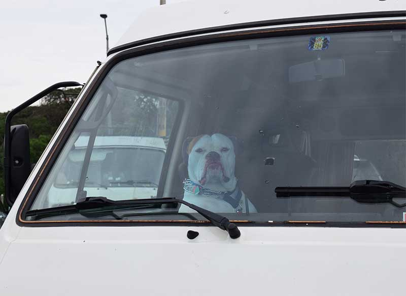 Dog drivng Vanagon